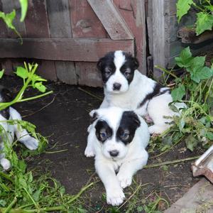 Отличные щенки Среднеазиатской овчарки,  Алабай