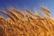 Пшеница,  ячмень,  лен,  рапс.